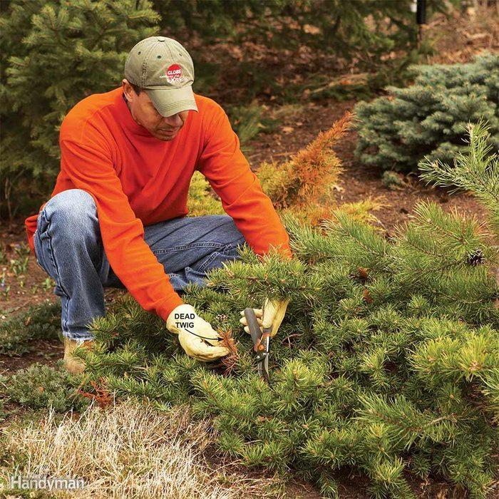 Prune Evergreens Lightly