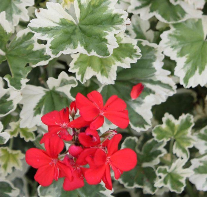 pelargonium-mint-julep-2