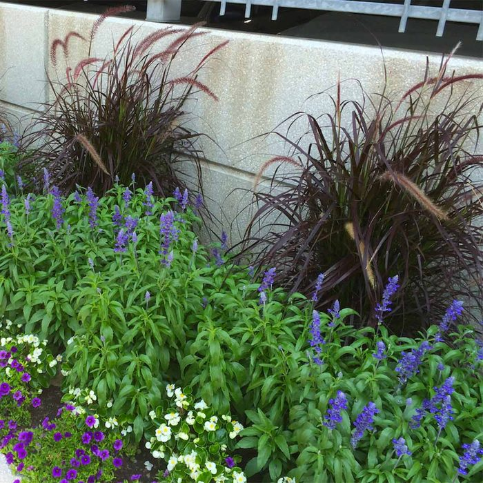 Fountain Grass, Salvia, Begonia and Calibrachoa