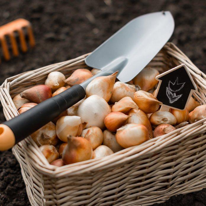dfh17-sep020_461316157 basket fill of bulbs garlic tulips
