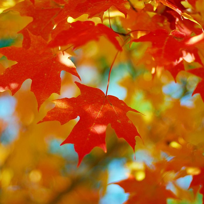 shutterstock_203145637 sugar maple tree leaves fall foliage