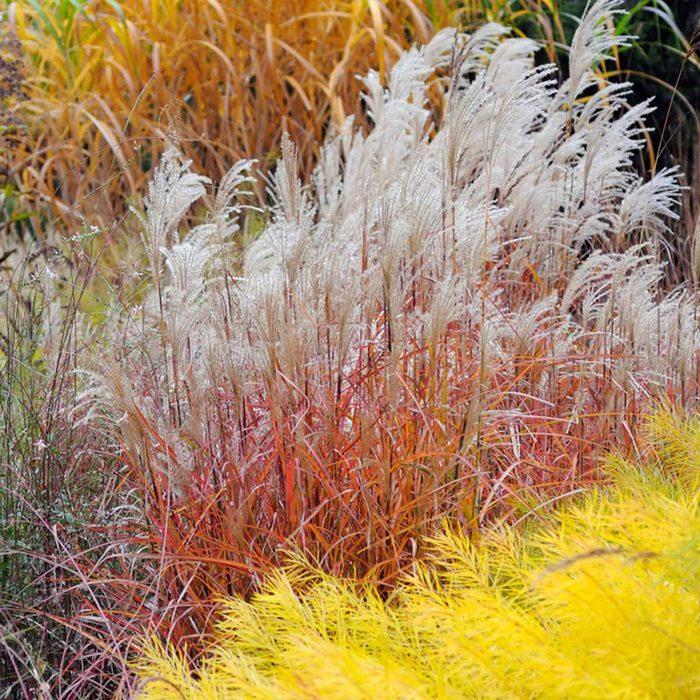 Flame Grass