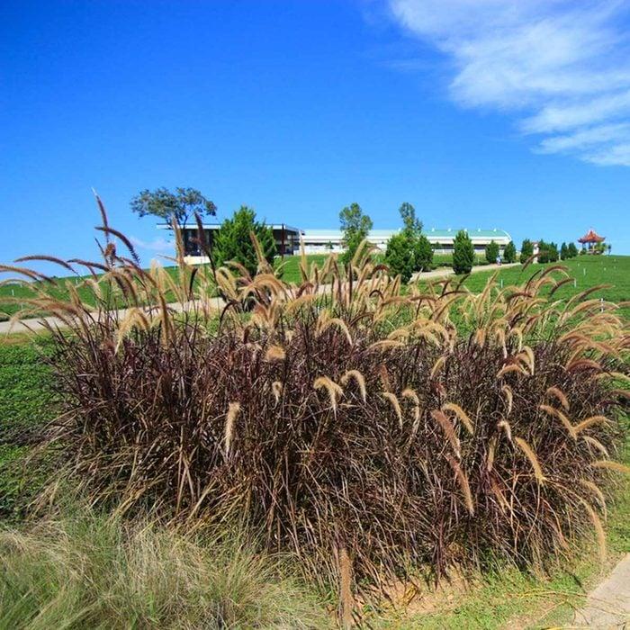 Purple Fountain Grass
