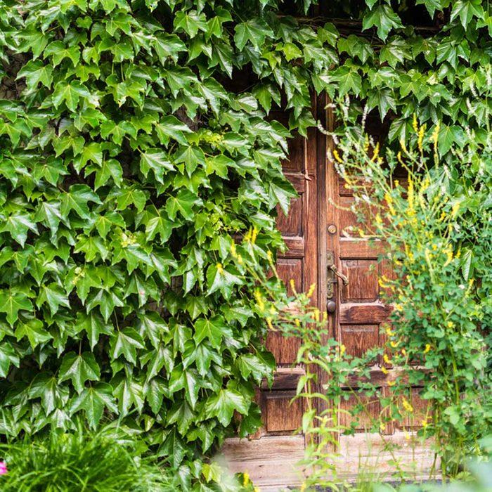 shutterstock_672209434 hidden doorway with vines ivy