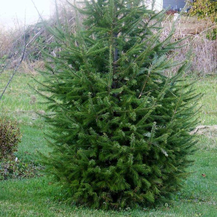 Douglas fir (Pseudotsuga menziesii)