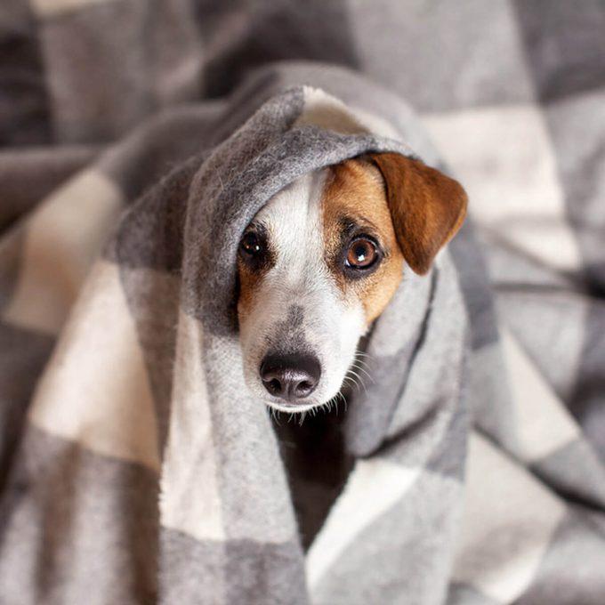 shutterstock_726710071 dog pet in a blanket