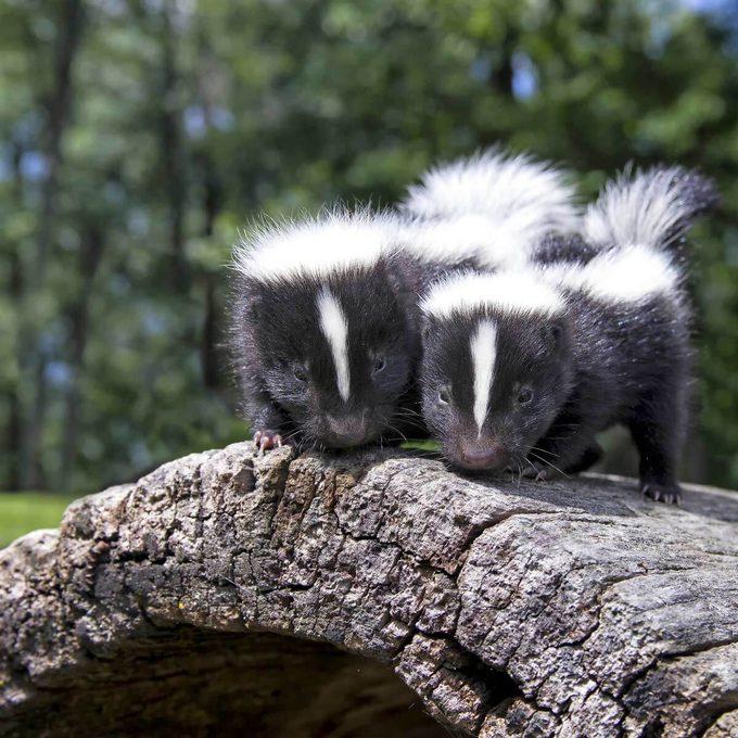 Skunk Deodorizer