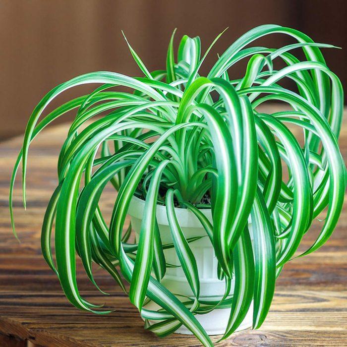 spiderplant_395717434