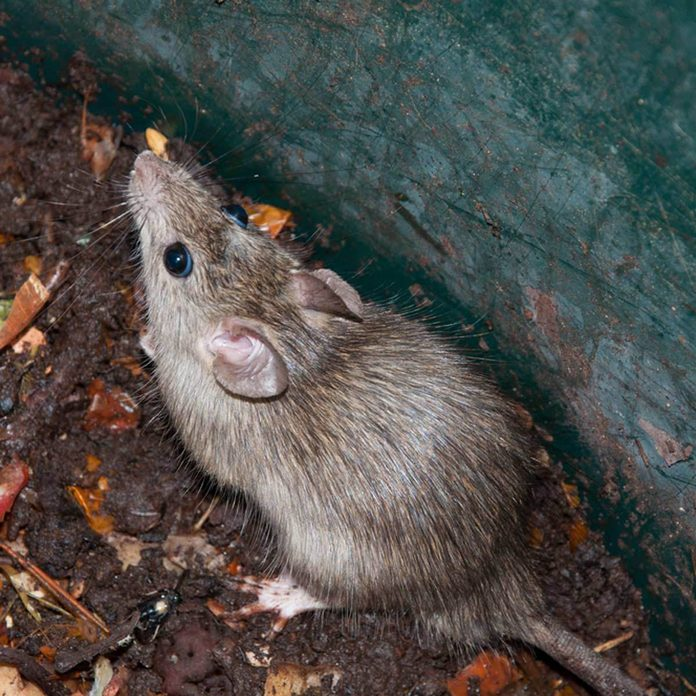 mouse in compost pile