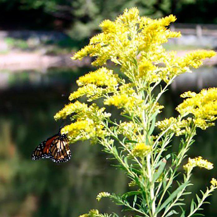 butterfly on goldenrod