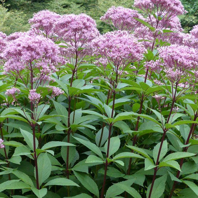 pink flowerheads on eupatorium