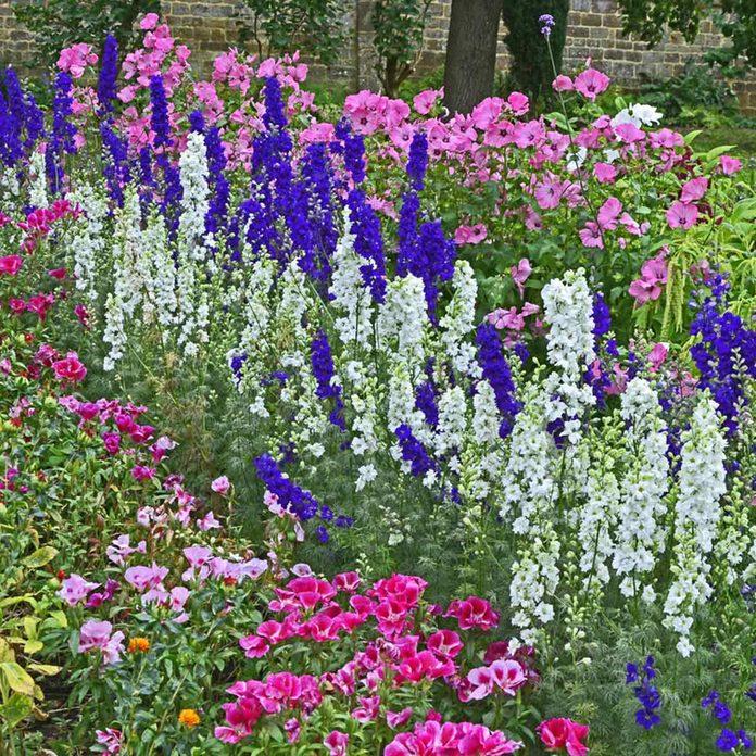 Blue and white larkspur in a wildflower garden wildflowers