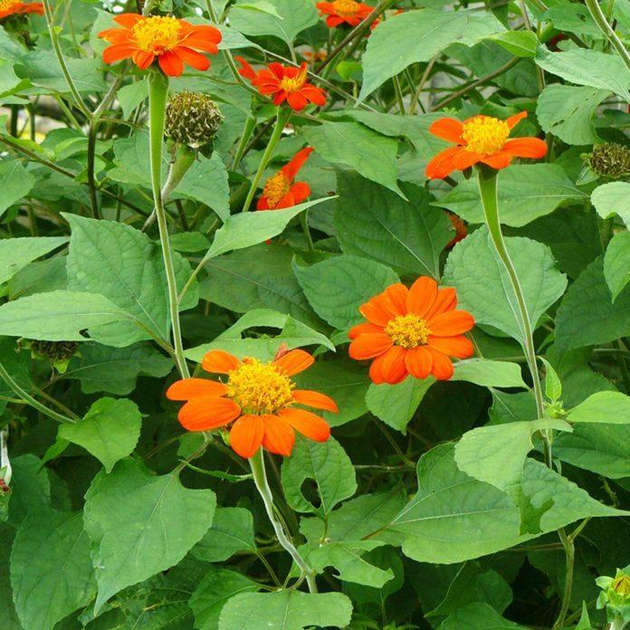 mexican sunflower wildflower