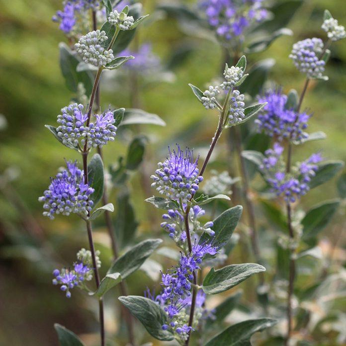 Caryopteris flowering shrub