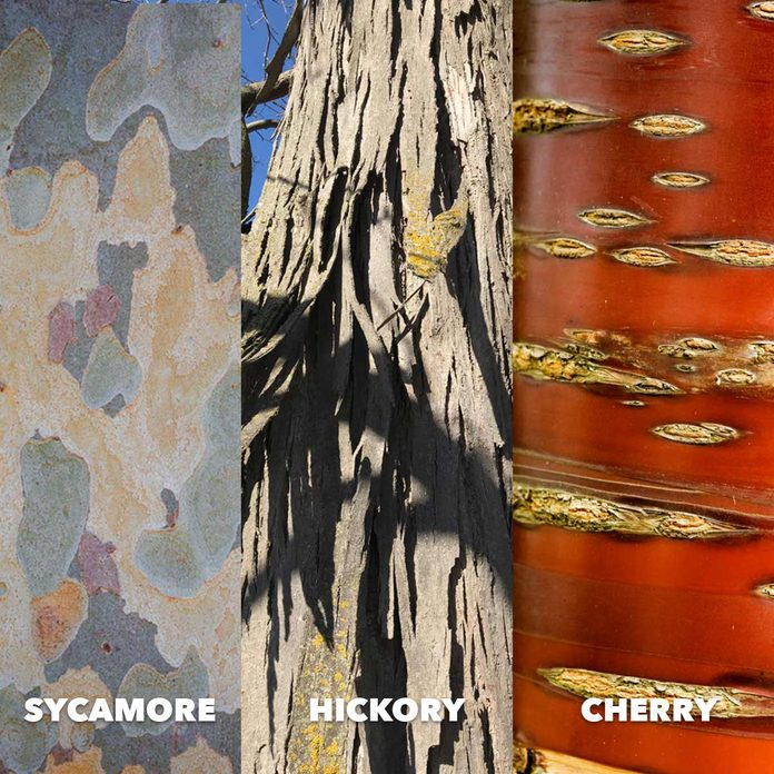 Sycamore hickory cherry bark comparison