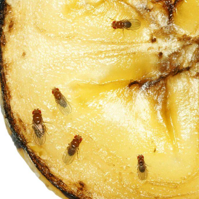 fruit fly house bugs
