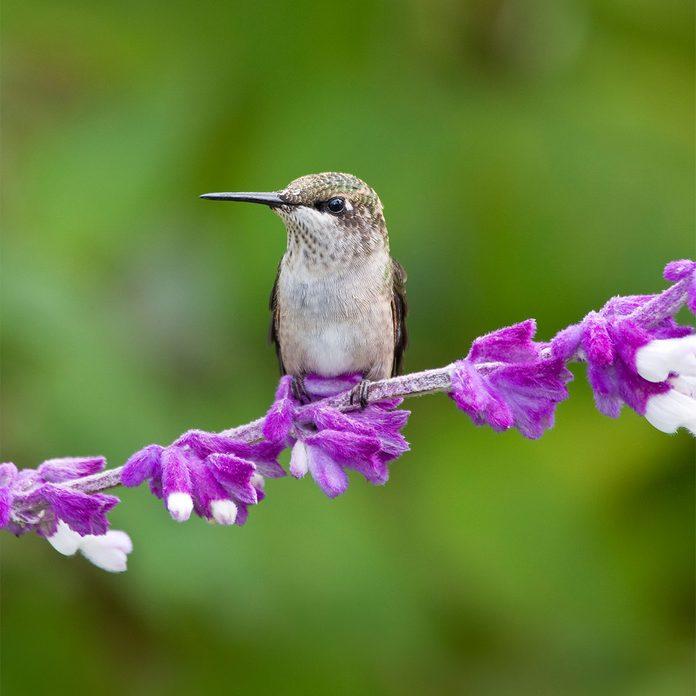 hummingbird on mexican bush sage