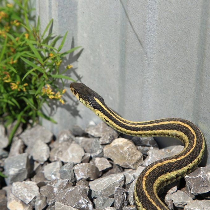how to keep snakes away, including this black and yellow one!