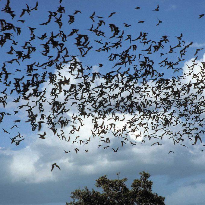 swarming bats