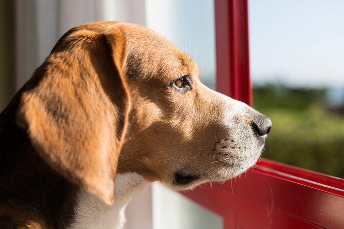 Beagle breed dog in a window