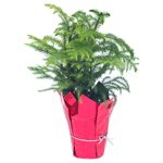 Does a Potted Norfolk Island Pine Make a Good Christmas Tree?