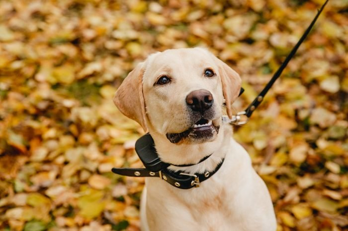 labrador Dog with Electric shock collar on outdoor.