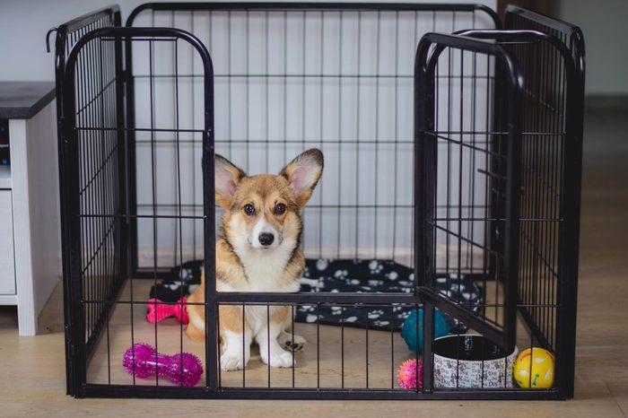 Cute welsh corgi pembroke puppy dog in a crate training sitting
