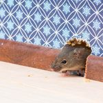 How to Get Rid of a Mouse in a Wall