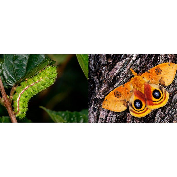 Io-Moth-caterpillar