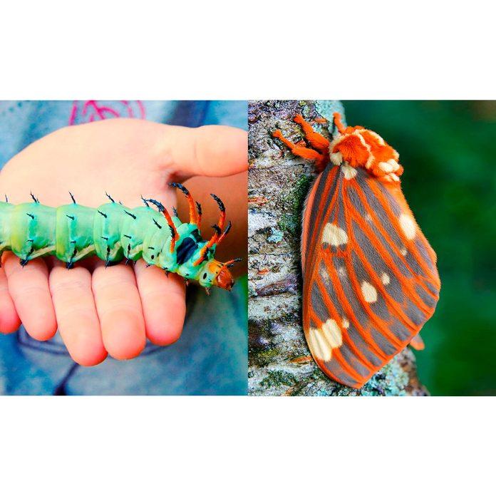 Regal-Moth