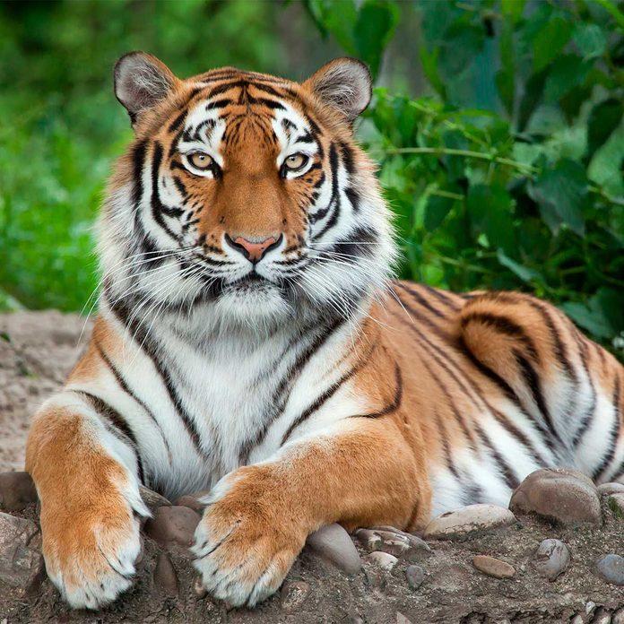 tiger laying on rock