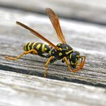 What to Do When a Wasp Stings You