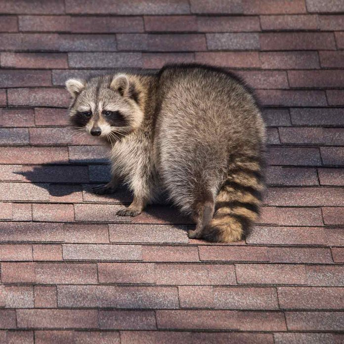 Raccoon-with-a-bushy-tail-on-a-roof