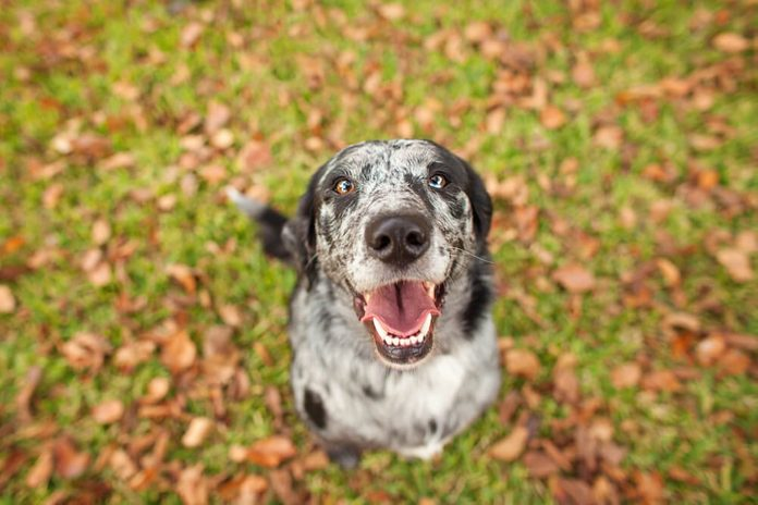 Happy Black and White Dog Looking at Camera