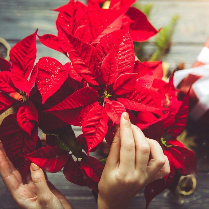 poinsettia flowers christmas