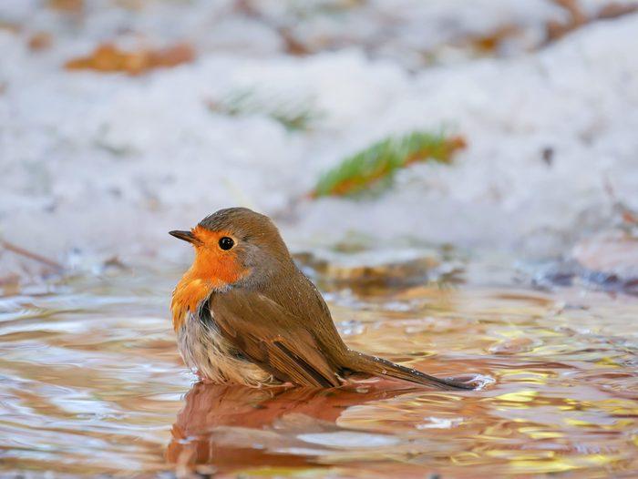 Robin (Erithacus rubecula), taking a bath in winter