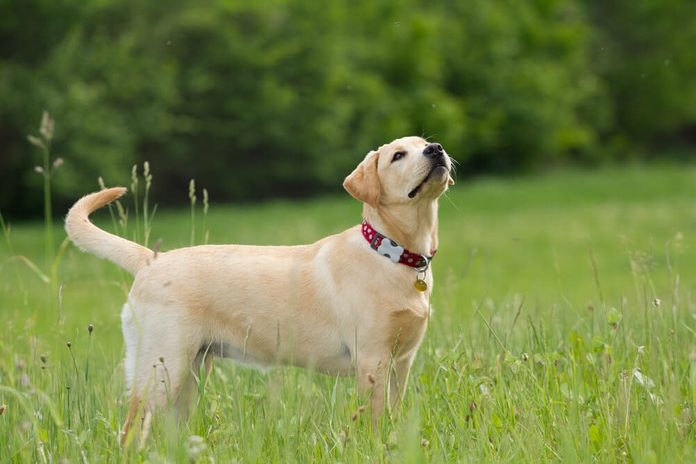 A puppy of labrador retriever in a grass