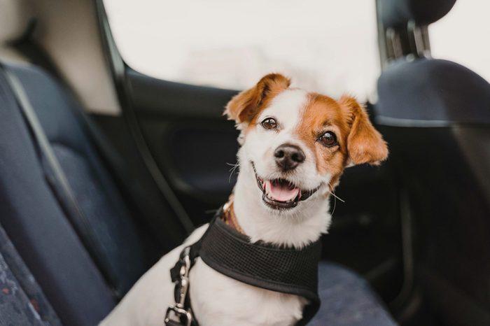dog buckled in car