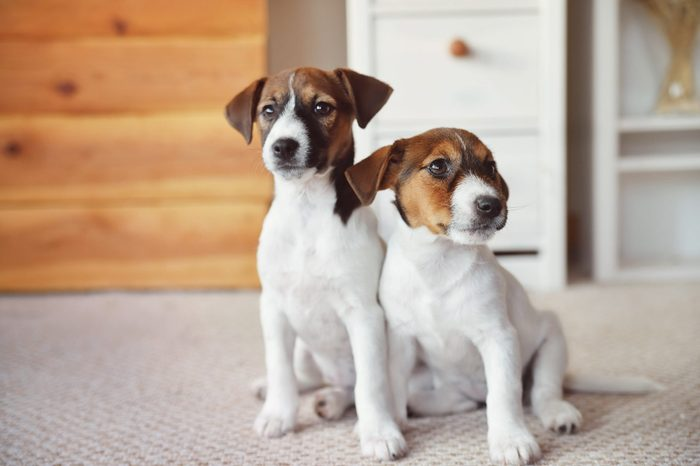 two Jack Russell Terrier puppy at home interior