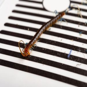 centipede trap