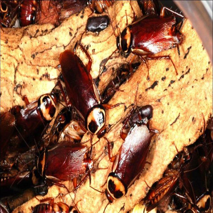 australian cockroaches