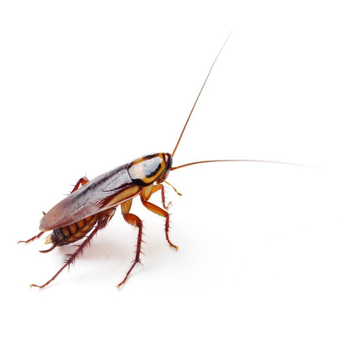 Cockroach Adult