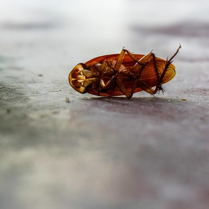 cockroaches without head