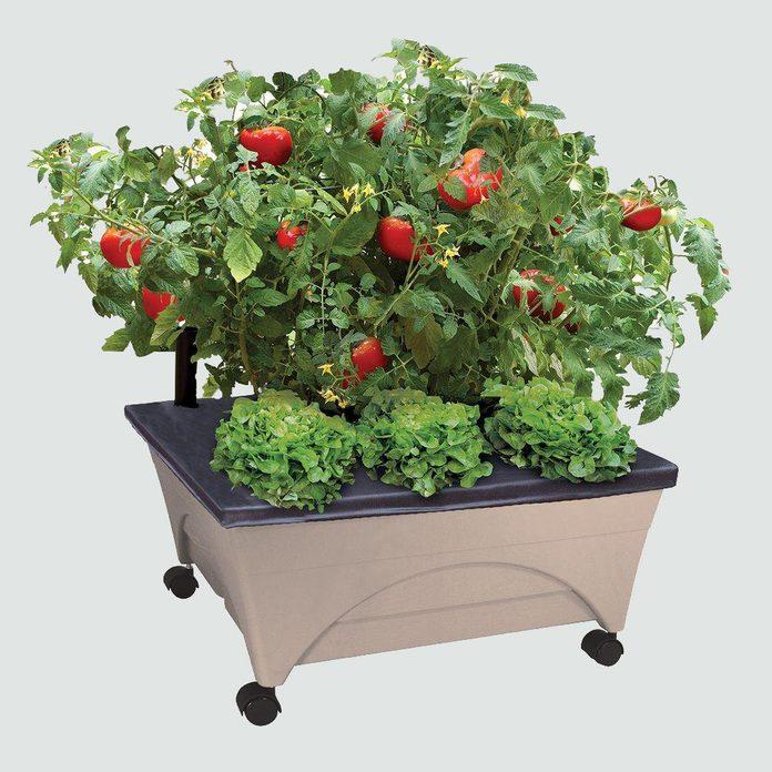 tomatoes plant at home quarantine