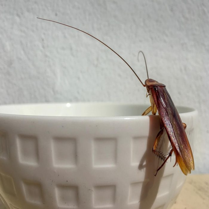 what cockroaches do