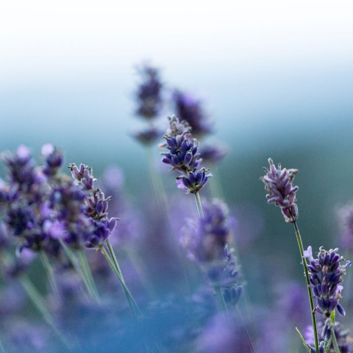 lavender moon garden