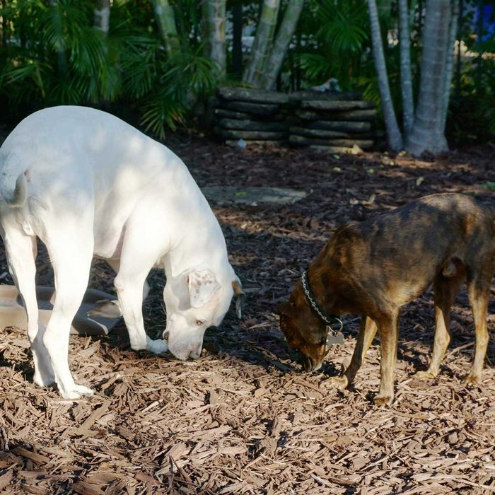 Dogs eating mulch