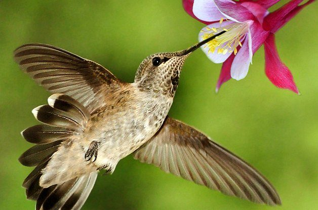 Hummingbird at Columbine