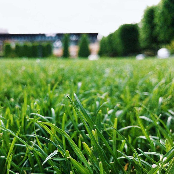 Turf grass close-up