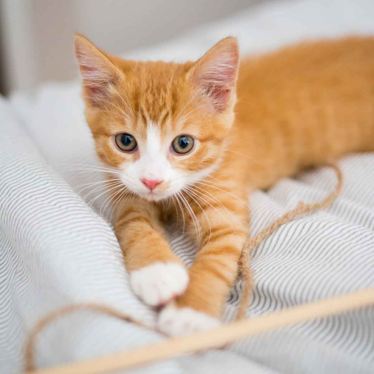 Diy Cat Toy Gettyimages 868495272